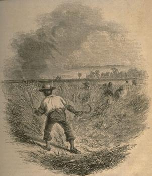 Black pencil sketch of rice farmer harvesting stalks in field.